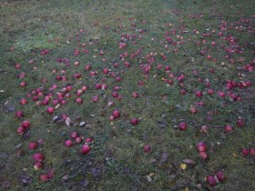 1,6 Tonnen Äpfel und 577 l Saft