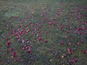 Apfelschätze Ernteaktionen