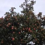Apfelspende